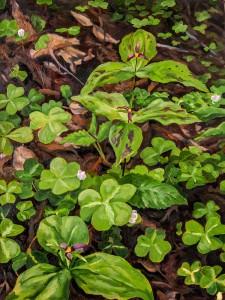 Redwood Sorrel Trillium blooming painting